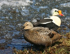 A pair of King Eiders turns to eider brood on mouseover